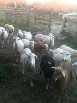 Quarles Farm Meats & Livestock - Quarles Farm, Quality